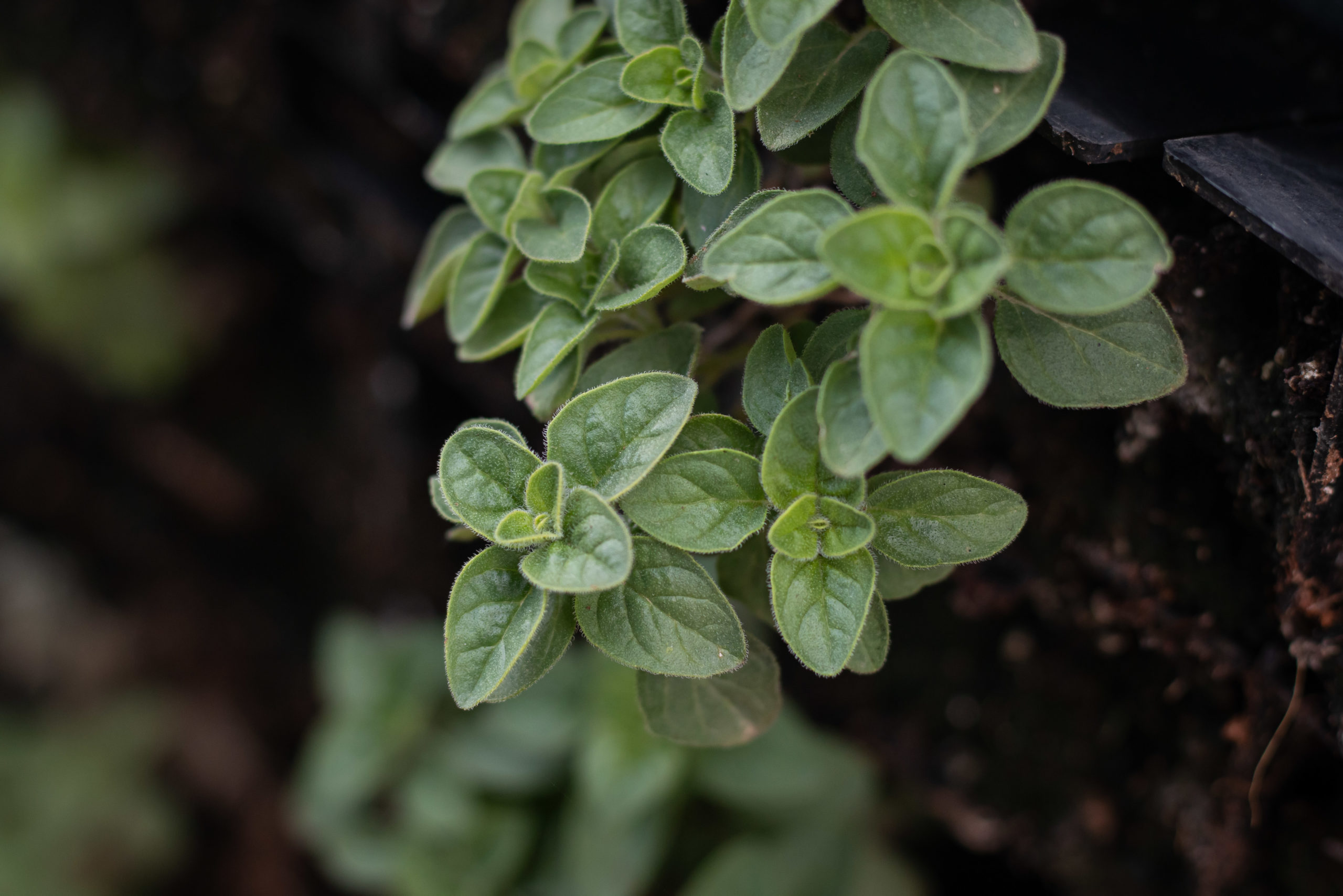 Fresh za'atar growing on the Asif rooftop farm